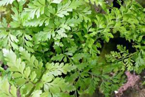 mother fern