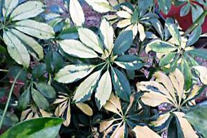 schefflera plant leaves