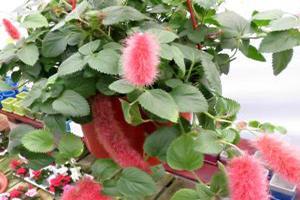 strawberry firetails