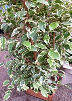 weeping fig ficus tree