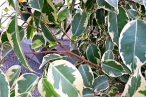 weeping fig leaves