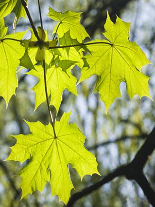 Leaves of the Norway Maple Tree