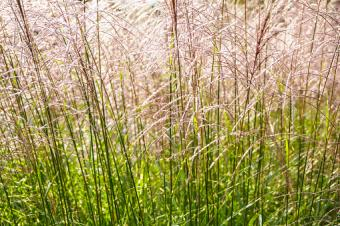 Chinese Silver Grass, Miscanthus sinensis