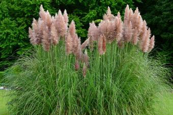 Pampas Grass, Cortaderia selloana