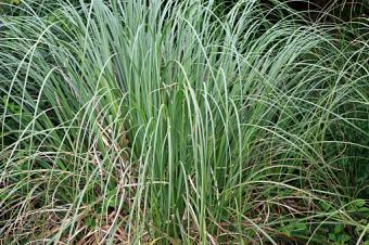 Sedge, Carex