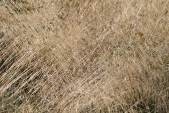 Tufted Hair Grass, Deschampsia