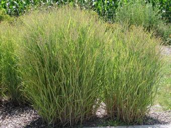 Switch Grass, Panicum