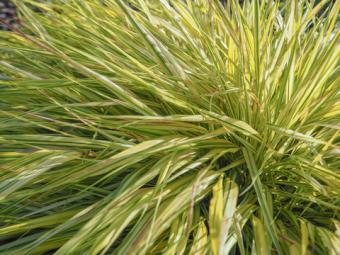 Japanese Forest Grass, Hakonechloa macra 'Aureola'