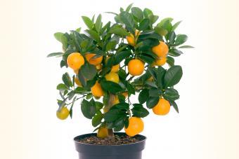 Potted miniature lemon tree