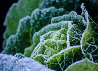 Frozen Cabbage Growing Outdoors