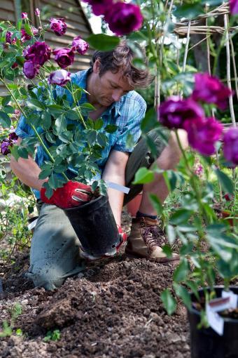 Gardener Planting Purple Rose Bushes