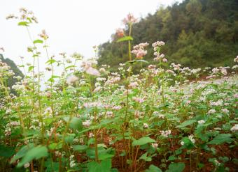 When to Plant Buckwheat