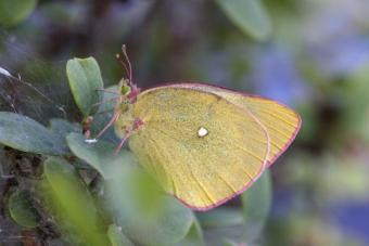Moorland Clouded Yellow butterfly