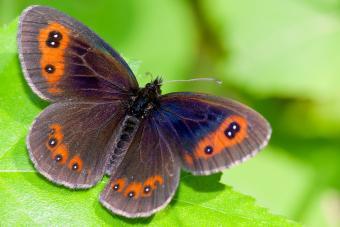 Piedmont Ringlet butterfly
