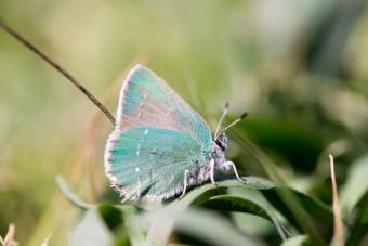 Coastal Green Hairstreak Butterfly