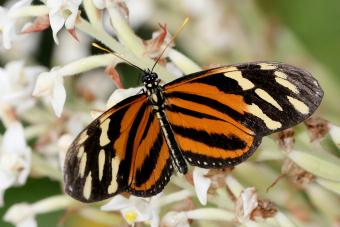 Isabella Tiger Longwing butterfly