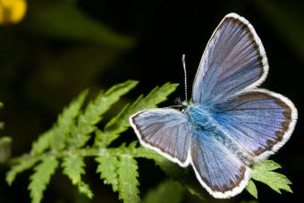 Northern Blue Butterfly