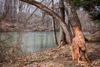 Repairing a Girdled Tree
