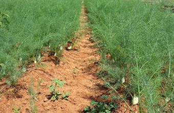 Field of fennel
