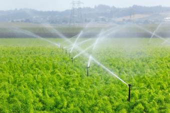 Watering fennel field