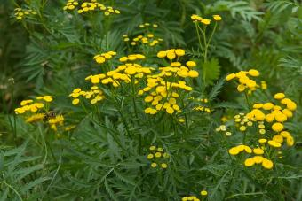 tansy leaves and flowers