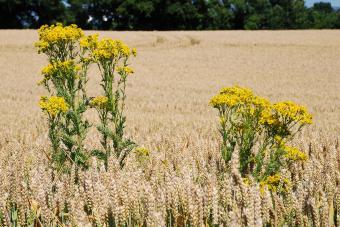 Tansy ragwort in a wheat field