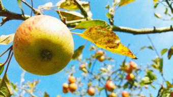 Apples Growing On Tree Against Sky