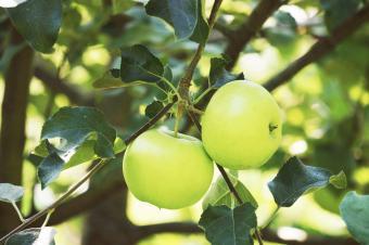 Apples Hanging On Tree
