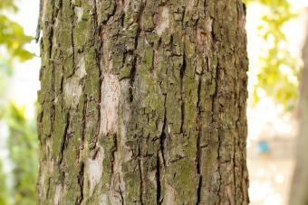 Bark of an apple tree