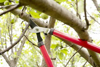 Red and steel garden secateurs pruning a tree in a garden