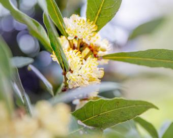 Bay laurel with flower