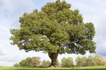 Mighty oak tree in Cheadle Cheshire