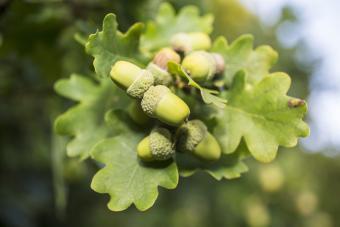 Acorns ripening on an oak tree
