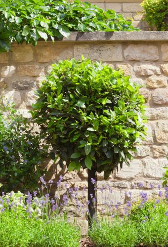 Laurel topiary tree