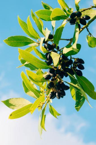Laurel leaves and berries