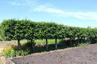 Portuguese Laurel trees as a hedge