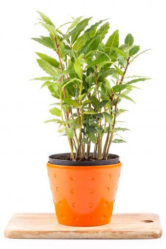 Laurel plant in pot