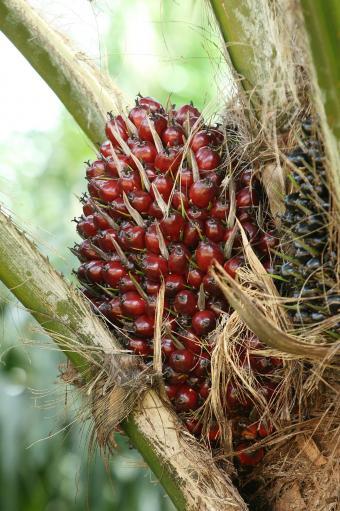 Palm tree fruit on tree