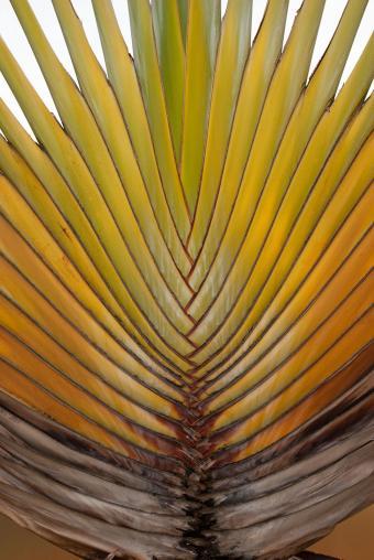 Yellow palm leaf