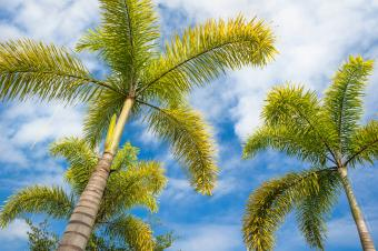 Foxtail palm tree against blue sky