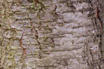 Closeup of plum tree bark