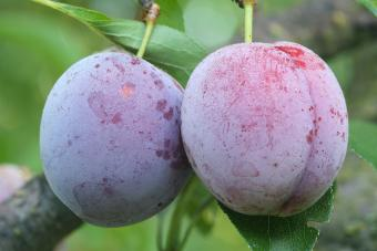 Two ripe Japanese plum on branch