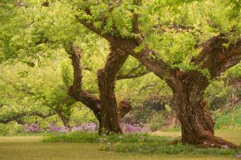 Large plum trees in garden