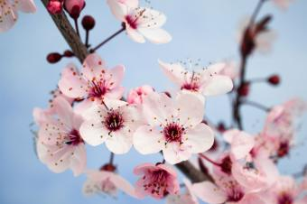 Closeup of plum blossom