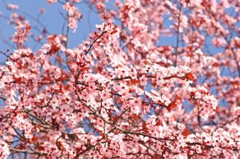 Pink plum blossoms on branches
