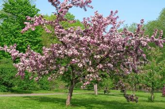 Plum tree in bloom