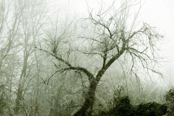 Dying plum tree in winter