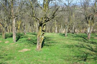 Old plum orchard before flowering
