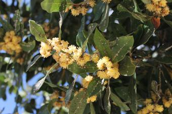 Laurel tree struck by insects