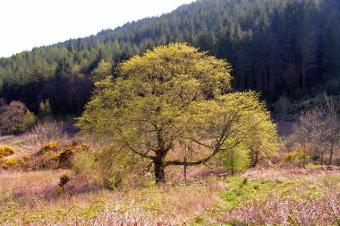 Mature Wych Elm in Bloom